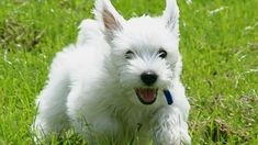 cairn Terrier, running, grass x 1745 px] - Animals/Dogs - Pictures and wallpapers Puppies That Dont Shed, Dog Breeds That Dont Shed, Tiny Dog Breeds, Cute Dogs Breeds, Small Breed, Pumi Dog, Best Small Family Dogs, Cute Small Dogs, Pets