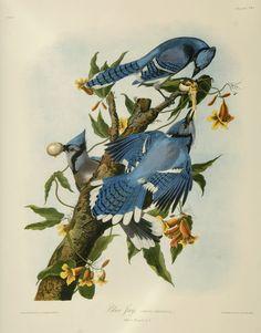Blue Jay - John James Audubon