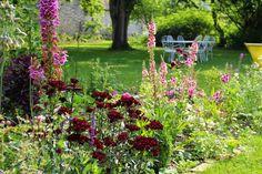 Fleurs pourpres : Dianthus barbatus ' Sooty ', oeillets de poète. Floraison de mai à mi-juillet, haut 50cm, très rustique.