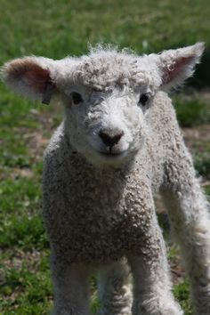 Adorable baby sheep