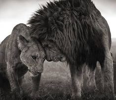 Breathtaking photograph of a male and female lion showing their affection for one another.