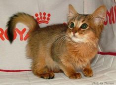 Somali Cat (kitten) - very fox like, those tails are gorgeous