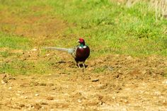 Pheasant Photo by Jaromir Ondra — National Geographic Your Shot