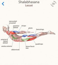 Muscle Names, Human Muscle Anatomy, Yoga Muscles, Become A Yoga Instructor, Medical Anatomy, Learn Yoga, Health And Fitness Articles, Yoga At Home, Yoga Tips