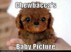 Chewbacca's baby picture. Ahahhaha adorable