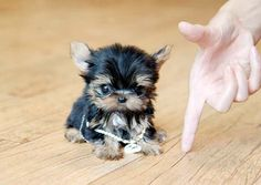 teacup yorkie puppies for sale in nc Cute Little Puppies, Puppies And Kitties, Baby Puppies, Cute Puppies, Cute Dogs, Yorkie Puppies, Yorkies, Fluffy Animals, Cute Baby Animals