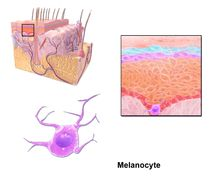 Structure and Function of the Skin - Skin Disorders - Merck Manuals Consumer Version Skin Structure, Structure And Function, Skin And Bones, Bones And Muscles, Merck Manual, Life Science, Biology, Disorders, Middle School