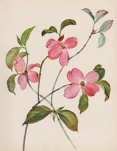 French Country Decor Vintage Pink Dogwood Flower Print Pink Flower Gallery Wall Art Cottage Decor Shrub 3985 by plaindealing on Etsy Pink Dogwood, Dogwood Flowers, Botanical Flowers, Botanical Art, Purple Flowers, Draw Flowers, Purple Lilac, Vintage Flower Prints, Vintage Botanical Prints