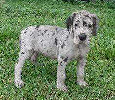 Great Dane Puppy.