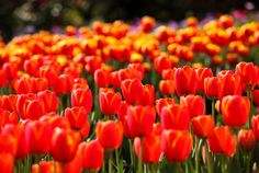 Tesselaar Tulip Festival, Dandenong Victoria - I would love to back with my younger daughter one day. Visited in Oct 2010.