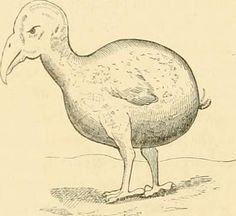 "Image from page 40 of ""The dodo and its kindred; or, The history, affinities, and osteology of the dodo, solitaire, and other extinct birds of the islands Mauritius, Rodriguez and Bourbon"" (1848)"