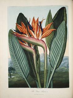 The Queen Flower, Robert John Thornton New illustration of the sexual system of Carolus von Linnaeus . . . , 1807