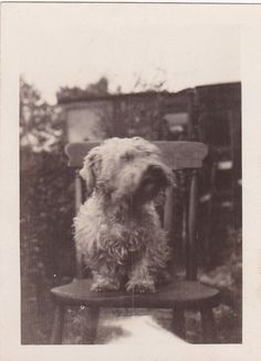 VINTAGE PHOTO HUMOUR DOG PET GARDEN CURLY HAIRED ANIMAL CIRCA 1930S CC84