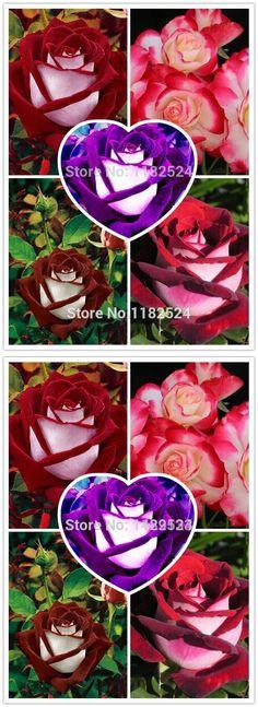 100pcs  Rare Osiria Rose Seeds,Chinese Rose Flower Seeds.Lover Birthday Gift.Rosa Semillas de Flores