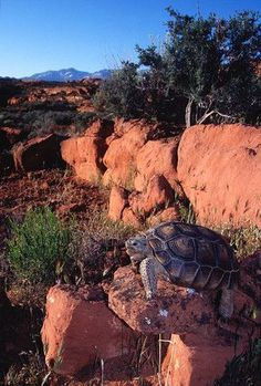 Utah's Beaver Dam Slope population of desert tortoise is listed as threatened by the U.S. Fish and Wildlife Service.
