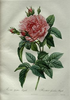The Botanical Prints of Pierre-Joseph Redouté (1759-1840)
