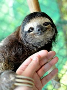 Aviarios del Caribe Sloth Sanctuary cares for injured and orphaned sloths, and is home to the world's most photographed sloth, Buttercup