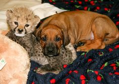 Cheetah cub rejected by mom finds a BFF in a Rhodesian Ridgeback puppy