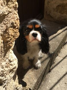 Everything About Playfull Cavalier King Charles Spaniel Temperament Cavalier King Charles Spaniel, King Charles Puppy, Puppy Mix, Spaniel Puppies, Dog Owners, Doge, Cute Dogs, Adorable Puppies, Cute Animals