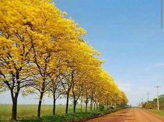 Lapachos amarillos