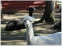 Alpacas (this photo was not taken in the wild, it is at the Beacon Hill Park zoo).