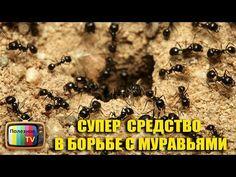 БОРЬБА С МУРАВЬЯМИ ОЧЕНЬ ЭФФЕКТИВНЫЙ СПОСОБ! - YouTube