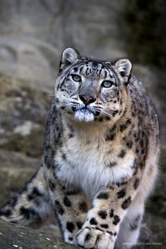 "Endangered Snow Leopard - what if someday a ""superior"" being comes along and says ""so what"" to our existence?"