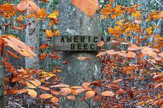 American Beech Photograph by Andrew Pacheco