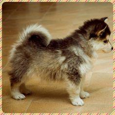 Pomsky :) I want one