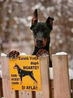 The Doberman Pinscher is among the most popular breed of dogs in the world. Known for its intelligence and loyalty, the Pinscher is both a police- favorite Pinscher Doberman, Animal Pictures, Funny Pictures, Amazing Pictures, Dog Pictures, Funny Animals, Cute Animals, Doberman Love, Doberman Funny