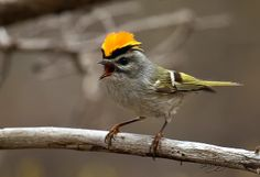 Golden crowned kinglets winter over at Presque Isle!