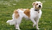kromfohrlander or kishu Terrier Dog Breeds, Dog List, Types Of Dogs, Working Dogs, Pictures, Animals, Pet Dogs, Animales, Photos