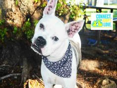 SAFE --- FRECKLES (A1658956) I am a neutered male white and brown brindle American Bulldog mix.  The shelter staff think I am about 1 year and 3 months old and I weigh 50 pounds.  I was turned in by my owner and I am available for adoption. — hier: Miami Dade County Animal Services https://www.facebook.com/urgentdogsofmiami/photos/pb.191859757515102.-2207520000.1431262427./975051105862626/?type=3&theater