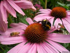 Some ideas for bee friendly plants, trees and shrubs for your garden.