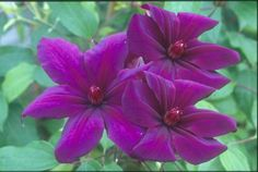 Clematis Versailles 1m from Taylor clematis