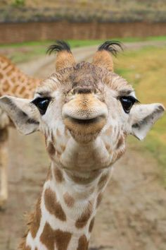 Absolutely adorable baby giraffe