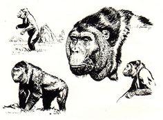 Gigantopithecus blacki, Z. Burian 1971