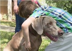 Zach and Delilah are together again and she's already working her magic! La Fugue, 6 Year Old Boy, Dog Stories, Therapy Dogs, Photo Story, Weimaraner, Service Dogs, Old Boys, Young Boys