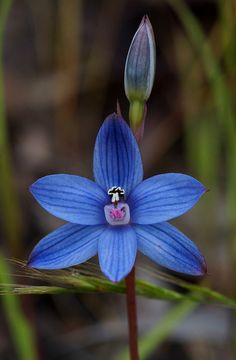 Wandoo Sun-Orchid [Thelymitra latiloba]