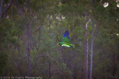 Ecletto maschio - Male Eclectus Parrot - Eclectus roratus