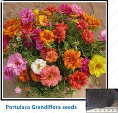 Portulaca seeds *Moss Rose (Portulaca Grandiflora)Bonsai flower seeds for home garden Potted plants mixed color 200seeds /bag