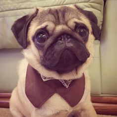 When it's Friday night and you know you're looking sharp  #puglife #pug #puppy