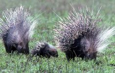 A Prickle of Porcupines by David Bygott: African porcupine family, Serengeti, Tanzania. #Porcupines #David_Bygott