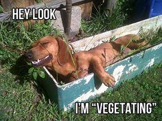 vegetating doxie.