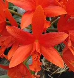 Cattlianthe Trick or Treat (Cattleya Icarus x Cattlianthe Chit Chat) Z-5221 | by Orchids by Hausermann