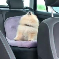 Cute Little Animals, Cute Funny Animals, Funny Dogs, Cute Baby Dogs, Cute Dogs And Puppies, Baby Puppies, Cute Animal Videos, Cute Animal Pictures, Pomeranian Puppy