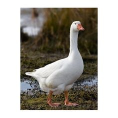 They talk to a grumpy goose salesman who tells them the goose was from the city. On their way out, they hear a man who sounds desperate to find a goose. Farm Animals, Animals And Pets, Cute Animals, Geese Breeds, Spirit Animal Totem, Tier Fotos, Farm Yard, Swans, Beautiful Birds