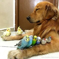 Bob the golden retriever is Snow White and the two cockatiels, four budgies, two zebra finches and one hamster are his Dwarfs. Animals And Pets, Baby Animals, Funny Animals, Cute Animals, Nature Animals, Beautiful Creatures, Animals Beautiful, I Love Dogs, Cute Dogs