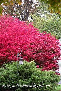 Burning Bush (Euonymus alatus 'compactus') Vibrant in the fall against evergreen backdrop