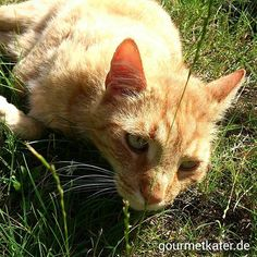 Spontaner Besuch im Garten. Nachbar Kater Tobi war da! #cat #gourmetkater #gardening #katze #kater #cats